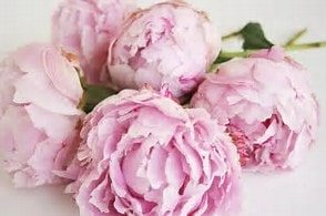Beautiful flowers - Peony